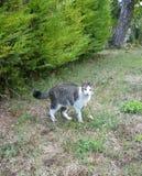 与白色围嘴前面的灰色镶边猫 库存图片