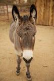 与白色鼻子的灰色驴面孔 免版税库存图片