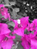 与白色耻辱的桃红色花 图库摄影