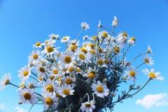 与白色camomiles的美丽的花束 库存图片