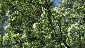 与白花反对天空蔚蓝,垂直的运动的树 股票录像