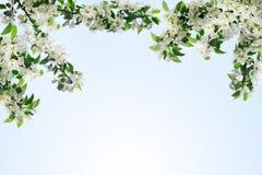与白花和绿色叶子的开花的苹果树分支在清楚的天空蔚蓝背景关闭,美丽的春天樱桃 库存照片