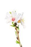 在白色隔绝的开花的春天分支 库存图片