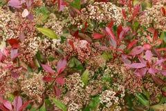 与白花的光叶石楠红色知更鸟树篱在春天庭院里 库存图片