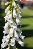 与白花的共同的Digitlis purpurea 免版税库存照片