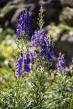 与白花的共同的Digitlis purpurea 免版税库存图片