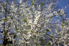 与白花的分支在绽放 库存图片