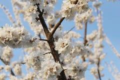 与白花的开花的分支 库存照片