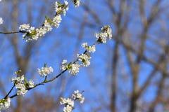 与白花的开花的分支 免版税库存照片