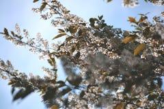与白花的开花的树 免版税库存照片