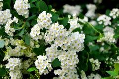 与白花的开花的灌木 免版税库存图片