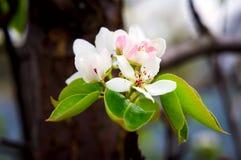 与白花的开花的苹果树早午餐  图库摄影