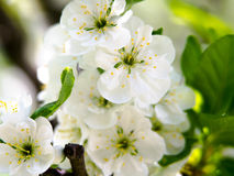 与白花的春天季节性背景,与拷贝空间的自然复活节花卉图象 免版税图库摄影