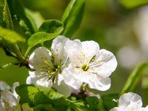 与白花的春天季节性背景,与拷贝空间的自然复活节花卉图象 库存照片