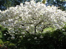 与白花的春天开花的灌木 库存照片