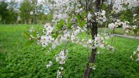 与白花的樱桃树在春天 股票视频