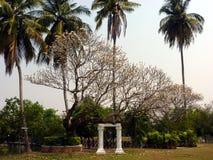 与白花的热带树在棕榈树前面在公园在泰国 库存图片