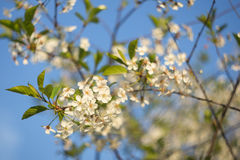 与白花的美好的樱桃树分支在阳光特写镜头 库存图片