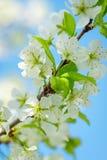 与白花的苹果树分支在反对天空的一个老庭院里 软绵绵地集中 宏指令 春天的概念 花  免版税图库摄影