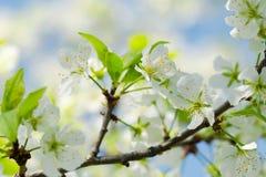 与白花的苹果树分支在反对天空的一个老庭院里 软绵绵地集中 宏指令 春天的概念 花  图库摄影