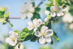 与白花的苹果树分支在春天庭院里 免版税库存图片