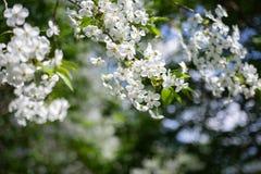 与白花的苹果树分支在被弄脏的背景 免版税库存照片