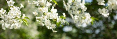 与白花的苹果树分支在被弄脏的背景 免版税库存图片