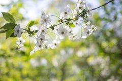 与白花的苹果树分支在被弄脏的背景 库存照片