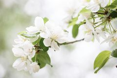 与白花的苹果树分支 免版税库存图片