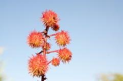 与白花的蓖麻草本种属的红色多刺的果子在绽放 免版税库存图片