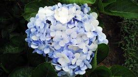 与白花的蓝色 库存图片