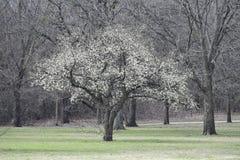 与白花的结构树 免版税库存图片