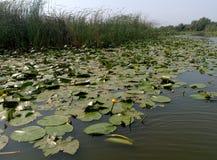 与百合花的风景在湖! 库存照片