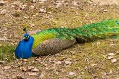 与的一个大孔雀蓝色ches 免版税图库摄影