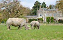 与的两头白色犀牛staely在背景中回家 免版税库存照片