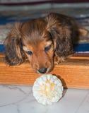 与的可爱的达克斯猎犬小狗球 免版税库存照片