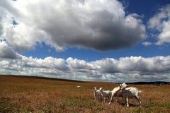 与的白色山羊孩子在领域吃草 免版税库存图片