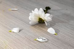 与的白色菊花被撕毁的瓣,题字-我爱你 免版税库存照片