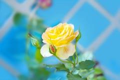 与的黄色玫瑰芽 图库摄影