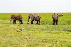 与皇家起重机的三头大象在大草原的前景 图库摄影