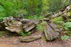 与盖老树干的绿色青苔的巨大的死的树皮在未经预约而来 库存图片