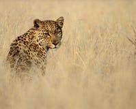 与目光接触的豹子被隔绝反对高草 免版税库存图片