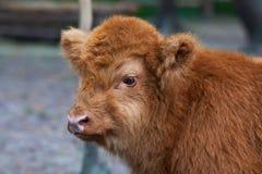 与直接一块带红色头发手表的婴孩高地母牛在近照相机在动物园里 免版税库存照片