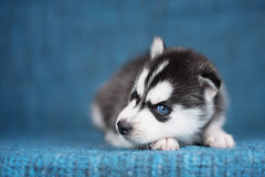 与相当蓝眼睛的一只美丽的多壳的小狗 库存图片