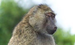 与看一个滑稽的狒狒的背景在旁边 库存图片