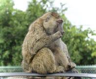 与看一个滑稽的狒狒的被隔绝的图片在旁边 库存图片