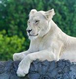 与看一头白色的狮子的被隔绝的图片在旁边 免版税库存照片