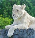 与看一头白色的狮子的美丽的明信片在旁边 库存图片