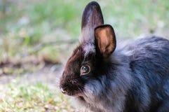 与看与他长的耳朵的蓬松毛皮的家养的黑兔子在动物园rised, 库存图片