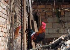 与看他从一个窗口在农场的庭院里的母鸡的一只雄鸡 库存照片